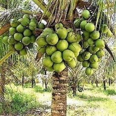 O gênero Cocos é constituído apenas pela espécie Cocos nucifera L., a qual é composta de algumas variedades, entre as quais as mais importantes são: tipica (Var. Gigante) e Nana (Var. Anã). O coqueiro anão constitui-se na variedade de coqueiro mais utilizada comercialmente no Brasil para produção de água de coco, com qualidade superior às demais cultivares. A variedade Anã apresenta desenvolvimento vegetativo lento, iniciando a produção em média com dois a três anos após o plantio, e a…