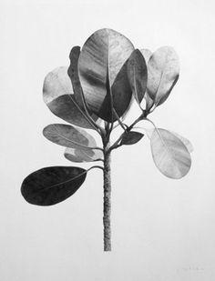 Jonathan Delafield Cook  Botanical Study II, 2010 Charcoal on paper,