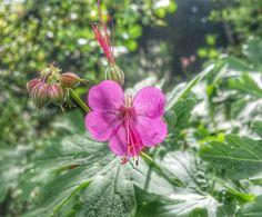 Quelques gouttes sont tombées . ..Le soleil est revenu ������ Sur le geranium macrorrhizum (heureusement que le net est là ;  je n aurai point trouver☺) #mygarden #myflowers #picoftheday #instagramers #botanique #springflowers #printemps #naturelover #flowers #photography  #flowerslovers #ig_nature #insta_flower #colorflower #plant #blooms #flowersofinstagram #floweroftheday #naturephoto #naturephotography  #normandie #seine_maritime_normandie #insta_normandy #photoflowers #wu_france…