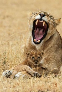 Lioness protecting her cub