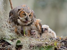 Great Horned Owl Family by Nancy Elwood http://focusingonwildlife.com/news/wildfocus/featured/st-cloud-_nae4413-2-140201/