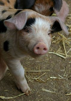 Piglet is just too cute Cute Creatures, Beautiful Creatures, Animals Beautiful, Baby Pigs, Pet Pigs, Farm Animals, Animals And Pets, Cute Animals, This Little Piggy
