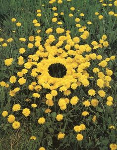 Inspired by Andy Goldsworthy: Natural Land Art for Kids: Dandelion art project inspired by Andy Goldsworthy Land Art, Richard Long, Art Et Nature, All Nature, Flowers Nature, Beltane, Rivers And Tides, Andy Goldsworthy Art, Art Environnemental