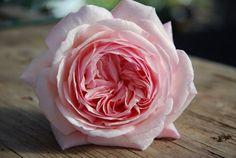 Image result for a shropshire lad rose