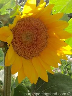 The iconic sunflower, easy and fun to grow in the garden!  www.purplepottingshed.com