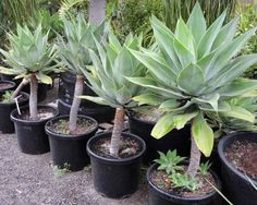 Agave_attenuata These are good plants for hot and windy balconies.