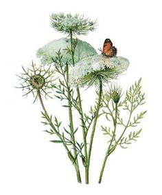 Queen Anne's Lace native & hosts caterpillars
