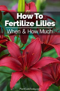 When to fertilize lilies? How much lily fertilizer to use? Ratios, Organic, Asiatic, Oriental, Easter! We share ideas and answers - [LEARN MORE]