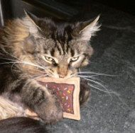 Emmy is from Boulder, CO. It looks like she is enjoying her Chocolate Brownie Toaster Tart with Sprinkles Organic Catnip Cat Toy.