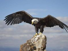 size: Photographic Print: Bald Eagle (Haliaeetus Leucocephalus) Perched with Spread Wings, Boulder County, Colorado by James Hager : Artists Eagle Drawing, Eagle Pictures, Eagle Wings, Art Journal Techniques, Canvas Prints, Art Prints, Beautiful Birds, Bouldering, North America