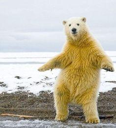 これがリアルダンシングベアだ!踊るホッキョクグマ現る!? : カラパイア