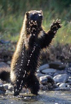 Wolverine (Gulo gulo) In the Rocky Mountains of southwest Montana. Rare Animals, Animals And Pets, Strange Animals, Wild Animals, Amphibians, Mammals, Beautiful Creatures, Animals Beautiful, Wolverine Animal