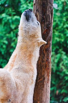 Polar bear scratching his head | Flickr - Photo Sharing❤️
