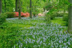 bluebells and azaleas Brandywine Valley, Spring Forest, Winterthur, Garden Images, Greenhouse Gardening, Country Estate, Exotic Plants, Dream Garden, Garden Planning