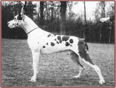 Jagla vd Stadt-Hamburg, harl, born 1958. 1959 Bundesieger. Purchased by Laura O'Day for her friend Rafael Guirola, of Alanos D'Oro kennels. Progenitor of CH Kant von Emmenhof (who was imported from Germany by Eva Robinson of Riverwood Kennels and produced abundantly there).