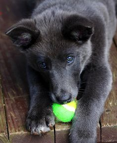 My Ball by Freda Nichols - Our little blue german shepherd playing with a tennis ball. The look in her eyes is priceless. Click on the image to enlarge.
