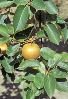 Asian Pear Trees: Learn How To Grow An Asian Pear Tree -  With a delicious pear flavor but a firm apple texture, growing your own Asian pears is becoming a popular option for those with a home orchard. Get tips and information for growing Asian pears in this article.