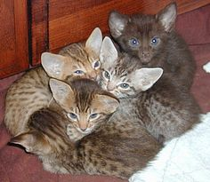 Top 10 Fluffy Cat Breeds List [+Parenting Simplified Tips] Kittens Cutest, Cats And Kittens, Cat Breeds List, Fluffy Cat Breeds, Domestic Cat Breeds, Ocicat, Cutest Babies Ever, Super Cute Cats, American Shorthair