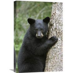 Black Bear Cub In Tree Safe From Danger, Orr, Minnesota By Matthias Breiter, 24 X 16-Inch Wall Art