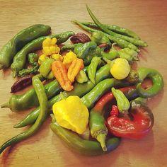 An impressive haul. Space chilli, Aji Fantasy,  Yellow 7 pot brain strain, chocolate naga & infinaga. All grown in coco. #chutney #growyourown #coco #aylesbury #hydroponics #chilli #spicy
