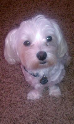 Could be snowy, or his Maltese twin