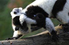 A black-and-white ruffed lemur (Varecia variegata)