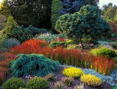 All Seasons Bed at Foggy Bottom garden. Conifer specimens are interplanted with heathers and ornamental grasses. The most striking grass is the river of Imperata cylindrical Rubra, the Japanese Blood Grass. In the left foreground is Cedrus deodara Feeling Blue.