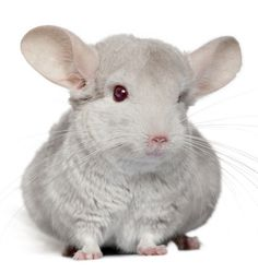 Chinchilla Care, Information, Facts & Pictures