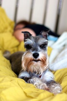 This little mini schnauzer has such a darling face, just so cute