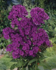 Nicky Giant Hardy Phlox paniculata. Rich, grape-purple with a dark eye. These disease resistant hybrid varieties provide astounding colour atop strong stems with bright green leaves. Late-Spring - Early Summer.  Zone : 4a - 8b. Height : 24″ - 36″. Purple. Sun, Sun/shade. Deer resistant. Fragrant. Sun Sun Sun/Shade Sun/Shade Attributes: Cut Flower Cut Flower Deer Resistant Deer Resistant Fragrant Fragrant