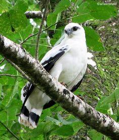 Gavilán Blanco (Pseudastur albicollis) White Hawk, Reserva Indígena Kekoldi, Limón.