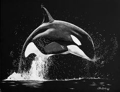 Orca scratch art Kudos to the artist! Black Paper Drawing, Black And White Drawing, White Art, Graphite Drawings, Art Drawings, Orca Kunst, Kratz Kunst, Orca Art, Whale Crafts