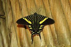 Green page diurnal moth (Urania Fulgens)
