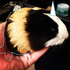 Narwhal Guinea Pig!