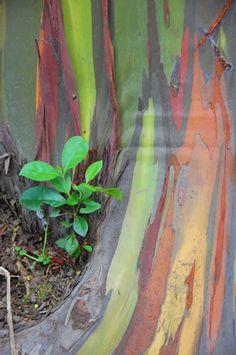 """""""Rainbow Trees"""" - The Road To Hana"""