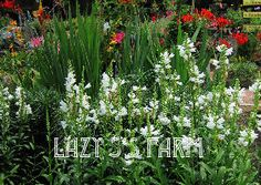 Physostegia virginiana 'Miss Manners'  -  Clumping White Obedient Plant