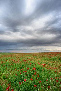 Poppy fields . Israel