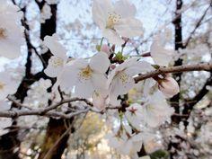Kirschblüten (Sakura) im Hiroshima Peace Memorial Park
