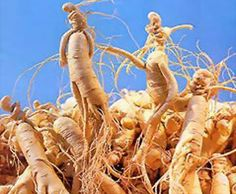 "Ginseng is a more than thousands of years old wonder herb belonging to the genus ""Panax"" having around 11 species. The two major species are American ginseng (Panax quinquefolius) and Asian ginseng (P. ginseng). Ginseng is known as a very good adaptogen."