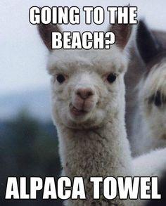 Alpaca on a beach? Sounds like a good time! Alpaca towel! #alpaca #fun #beach