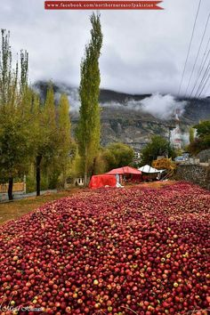 DeLiCiOuS AppLeS Of HuNzA VaLLeY, PaKisTaN !!!!!