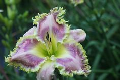 Photo of Daylily (Hemerocallis 'Wise Whiskers') uploaded by vic
