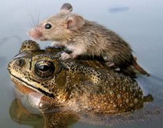 A mouse rides on the back of a frog in floodwaters in the northern Indian city Lucknow.