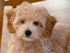 goldendoodle...yes please! someday i will convince ryan to get one of these precious little pups.