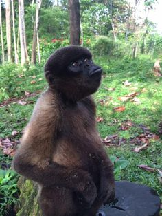 Volunteer with these weird and wonderful monkeys Gap Year, Weird And Wonderful, Primates, Monkeys, Ecuador, Animals, Rompers, Animales, Primate