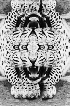 Mirroring creates a busy background, perfect to emphasize the opposite; slowness mirroring black and white animal