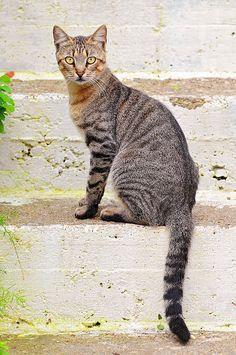 Greek cats by Tambako the Jaguar, via Flickr.com