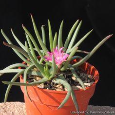 Marlothistella stenophylla