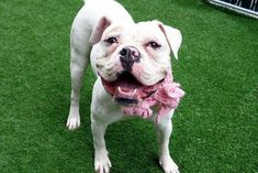 KARLA - A1108971 - - Manhattan  TO BE DESTROYED  04/29/17: ****CAN BE PUBLICLY ADOPTED**** A volunteer writes: I wanted to schmush that jowly face, and I did! Karla is stunning, her coat pristine white, her smile lights up the room, she's soft and snuggly and she purrs! Give her a hug, she'll fold herself into you and her purring starts. So sweet! When she's not smiling, she's the dog version of Grumpy Cat, and that's simply her breed, and that