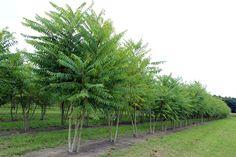 Ailanthus altissima - Google-søgning